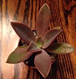 "GRAPTOVERIA 'FRED IVES' - 2 1/4"" SUCCULENT POT"