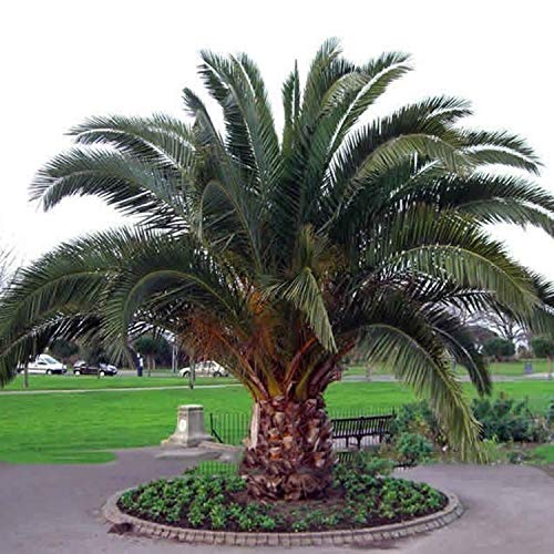 10 Seeds Phoenix canariensis Canary Island Date Palm ()