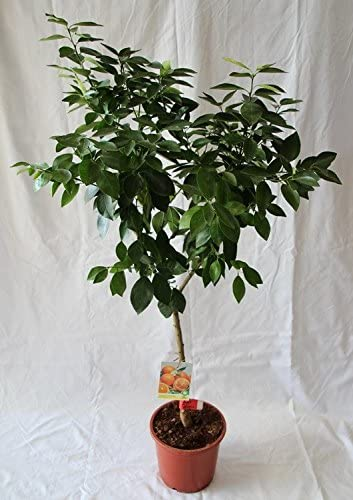 Naranjo (maceta de 15 cm Ø) - Arbol frutal vivo: Amazon.es: Jardín