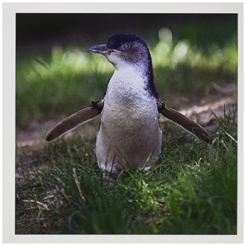 - 3dRose Omaha, Henry Doorly Zoo. Little Blue Penguin - US26 GHA0030 - Gayle Harper - Greeting Cards, 6 x 6 inches, set of 6 (gc_91531_1)