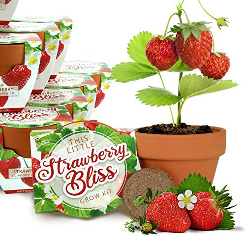Buzzy Seeds Mini Terracotta Grow Pot 12-Pack - for Weddings, Parties, Events as Modern, Trendy, Unique and Fun Gardening Favors and Gifts - Includes Everything You Need! (Strawberry Bliss)