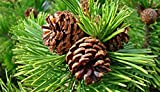 Brain and Memory Supplements - Siberian Pine NUT