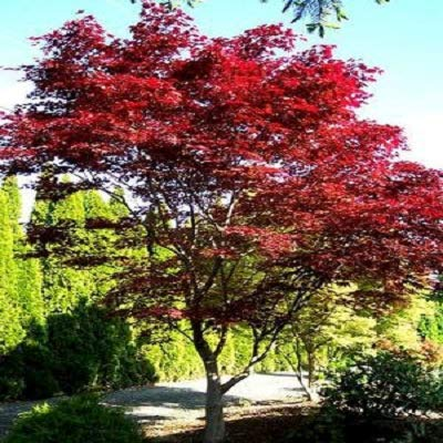 (Emperor 1 Red Japanese Maple - Live Plant - 2 Gallon Pot)