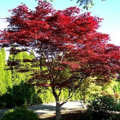 - Emperor 1 Red Japanese Maple - Live Plant - 2 Gallon Pot