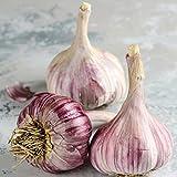 Organic Hardneck Garlic Purple Glazer - Cold Hardy w/ Tasty Scapes - 1/2 lb. bag. Garlic Bulbs for Planting