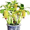Dwarf Banana Tree Seeds Mini Bonsai Fruit Home Garden Plants 100+Seeds Germination Rate of 95%