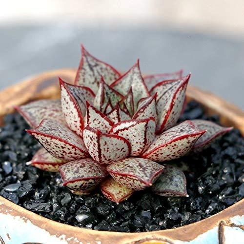 - JLAS Live Succulent Lithops Pseudotruncatella Cactus Plant Echeveria purpusorum White Form | 567143914614_59