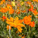 SANHOC Seeds Package: Cosmos Mix Seeds - Cosmos eus -Seed