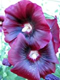 25 BURGUNDY RED HOLLYHOCK Alcea Rosea Flower Seeds Perennial *Comb S/H