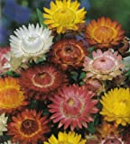Seeds and Things Organic Giant Strawflower - 300 Seeds - Tender Annual