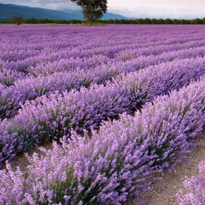 Phenomenal Lavender - 6 Plants