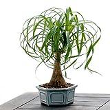 Pretty Ponytail Bonsai - Live Plant - Cut Flower Alternative - Low Maintenance Plant