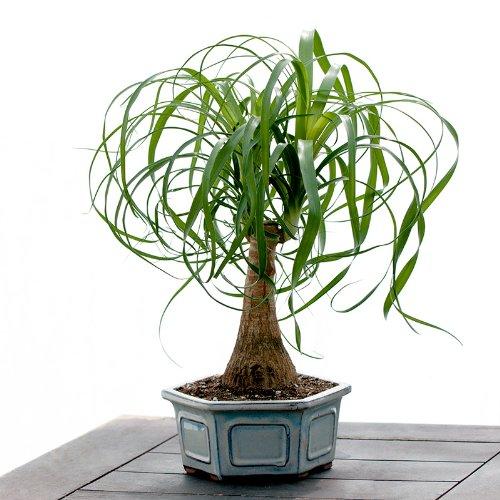 Pretty Ponytail Bonsai - Live Plant - Cut Flower Alternative - Low Maintenance Plant by Windowbox