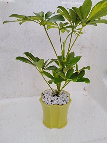 Schefflera Umbrella Plant - 2