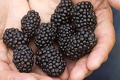 Blackberry Seeds - TRIPLE CROWN - Rare & Unusual - Gigantic Fruit - 25 Seeds