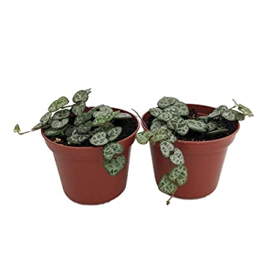 """AchmadAnam - 2 Pack 2.5"""" Pots - Rosary Vine - Ceropegia woodii - String of Hearts, Plant, Tree, Bulb : Garden & Outdoor"""