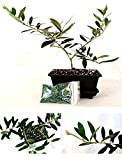 Olive Tree Bonsai with Water Tray and Fertilizer Garden Plant Pot Best Gift New