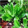Culantro Seeds for Planting Long Coriander Thai Parsley Seeds Recao Long Coriander Mexican Coriander NGO GAI