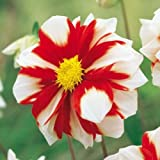 1 Dahlia Fire and Ice Red White Color Flower Bulb Perennial Summer Blooming