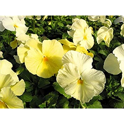 Organic 500 Bulk Snow Pansy Seeds Primrose Yellow Snowpansy : Garden & Outdoor
