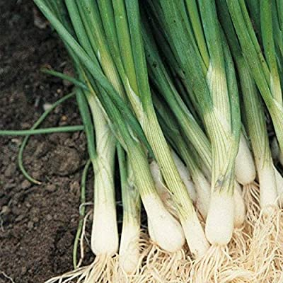 White Bunching Onions--The MOST POPULAR ONION! These are GREAT!!!(25 - Seeds) : Garden & Outdoor