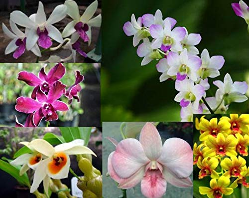 4 Live Orchid Plants to Choose (Dendrobiums) by Angel's Special (Image #2)
