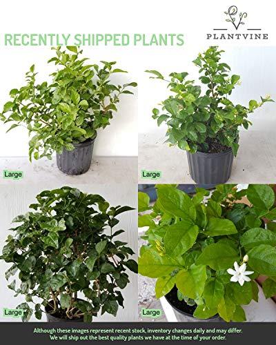 PlantVine Jasminum sambac, Arabian Jasmine, Sambac Jasmine - Large - 8-10 Inch Pot (3 Gallon), Live Plant - 4 Pack by PlantVine (Image #4)