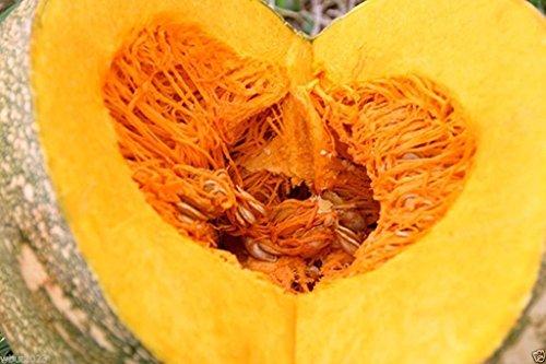 10 Seeds - Jamaican Pumpkin Seed (Calabaza) a.K.a Haitian,Caribbean Pumpkin & Cuban Squash