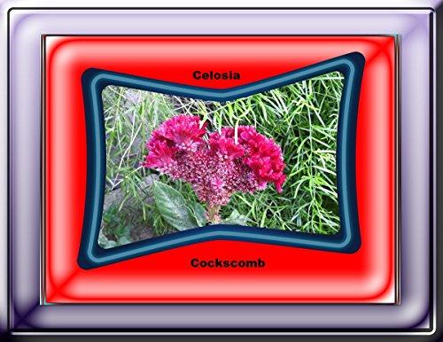 Cockscomb flower Celosia 2017 (English Edition)