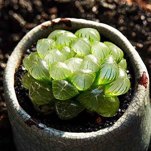 Succulent Live Plant Haworthia cooperi VAR truncata