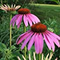 Purple Coneflower (Echinacea Purpurea) Seeds - 1 Oz, 7,500 Seeds by Seeds2Go