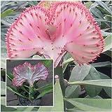 "Euphorbia lactea cristata Plants ""Mahachok"" Elkhorn Frilled Fan Crested Euphorbi"
