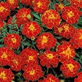 Outsidepride Marigold Red - 1000 Seeds