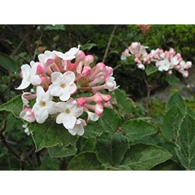 Viburnum carlesii KOREANSPICE Fragrant Blooms Seeds! : Garden & Outdoor