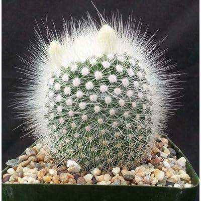 Notocactus rudibuenekeri albissimo Cactus Cacti Succulent Real Live Plant : Garden & Outdoor