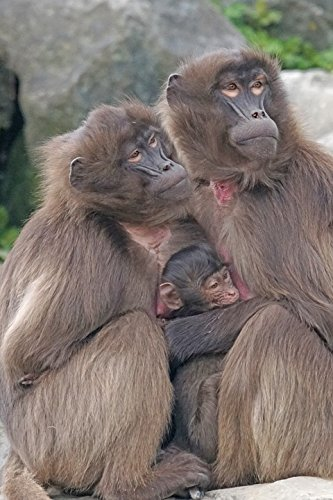 home comforts laminated poster dschelada social mother primates ape baby monkey poster