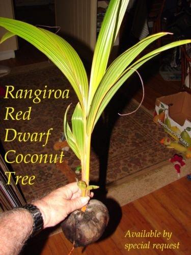 ~RED TAHITI RANGIROA~ RARE DWARF COCONUT 2-3+ft TREE Ready to PLANT! ()