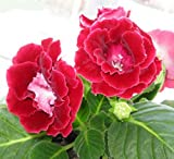 Mr.seeds Red Gloxinia Seeds Perennial Flowering Plants Sinningia Speciosa Bonsai Balcony Flower for DIY Home & Garden - 100 PCS