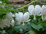 Dicentra spectablis 'Alba'Seeds,White Bleeding Heart,( 10 Seeds) Rare Flowers