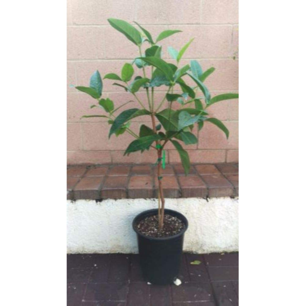 Wax Jambu/Wax Apple Tropical Fruit Trees 3-4 Feet Height in 3 Gallon Pot #BS1 by iniloplant (Image #2)