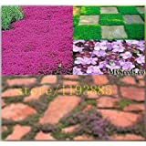 1000pcs creeping Thyme Herb Seeds Thymus Serpyllum grass seeds ~Butterflies love it for home & garden