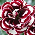 Green's Gardens Rare Heirloom 1 Package 20 Dianthus Seeds Easy to grow long-lived High Germination