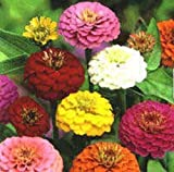500 Mixed Colors CALIFORNIA GIANT ZINNIA Elegans Flower Seeds *Comb S/H