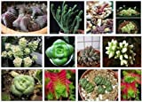 Crassula Mix 10 SEEDS Exotic Cute Rare succulent CombSH C42