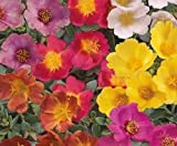 "RUBY TUESDAY ~Red~ Purslane Rock (Calandrinia Umbelleta) 6""Tall Annual Seeds"