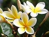 5 Seeds Plumeria alba Yellow White Flower Garden Frangipani Small Tree Shrub