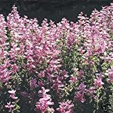 Outsidepride Salvia Pink Sunday - 1000 Seeds