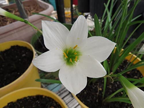 Zephyranthes Waan Hom Day Rain Lily 1 bulb NEW habranthus