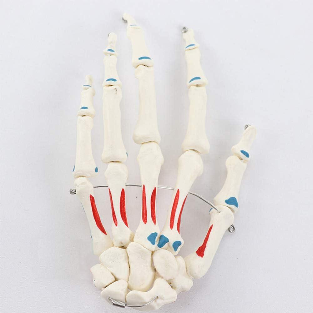 Modelo de Hueso de Mano de Tamaño Natural, con Identificación de Punto de Inicio y Fin Muscular, para Masaje Ortopédico y Enseñanza de Esqueleto de Medicina