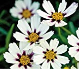 New Heirloom Star Cluster Perennial White Purple Coreopsis Flower 20+ Seeds